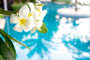 La pose en embrasure Frangipanni Plumerias flower on the tree, background be swimming pool