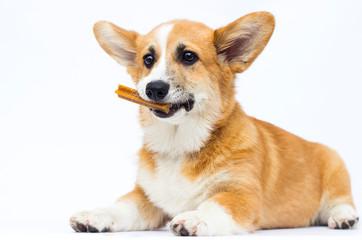 Fototapete - little puppy holds bone in teeth, welsh corgi pembroke breed