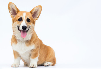 little puppy sits and looks, breed welsh corgi pembroke