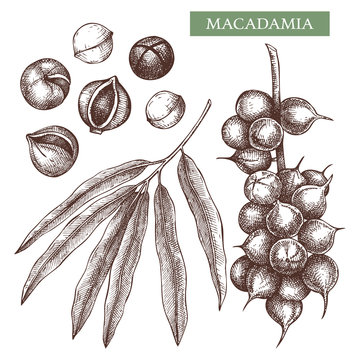 Macadamia vector illustrations. Hand drawn food drawing. Nut trees sketch collection. Organic vegetarian product. Perfect for recipe, menu, label, packaging, Vintage set with nuts, leaves, branches.