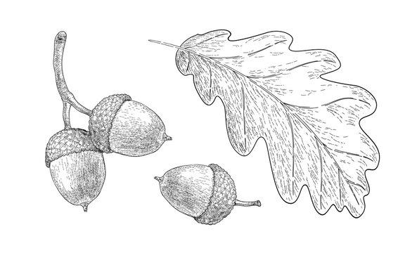 Drawn oak leaf and acorns. Sketch of autumn  plants. Graphics