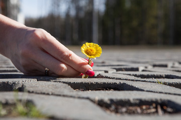 Yellow dandelion growing in the middle of the pavers