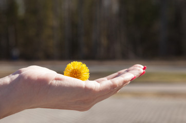Yellow dandelion in the hand of a young girl on a blurred background