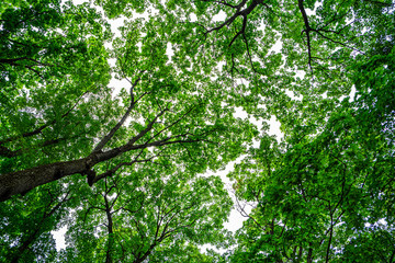 Looking up at green trees canopy and sky