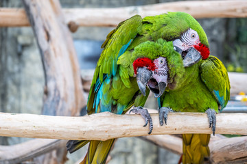 Two parrots Ara Militaris cleaning feathers in a funny pose