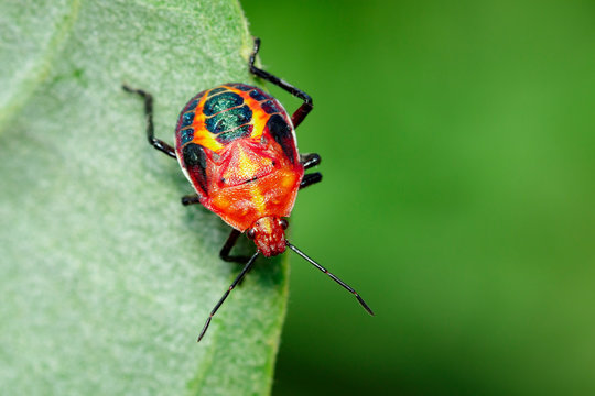 Image of red stink bug on green leaves on a natural background.. Insect. Animal.