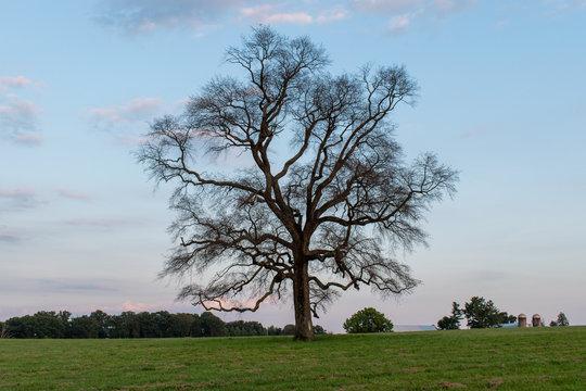 Tupelo tree in field