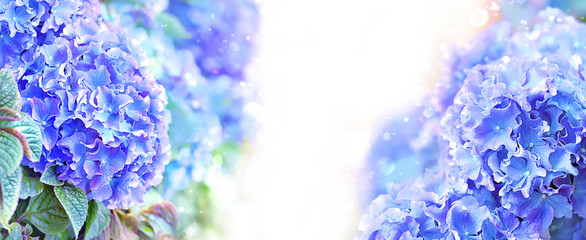 beautiful Hydrangea (Hydrangea macrophylla) close up. blue-violet hydrangea flowers background. delicate blossom floral abstract backdrop. shallow depth, soft selective focus