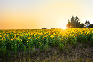 Sunset view of a large field of sunflowers next to a rustic home in the Inland Northwest area of Spokane, Washington.