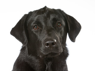 Black labrador dog portrait. Image taken in a studio with white background. Copy space, isolated on white.