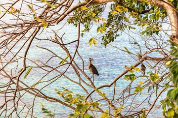 Saint Vincent and the Grenadines, Princess Margaret beach, Bequia, Heron