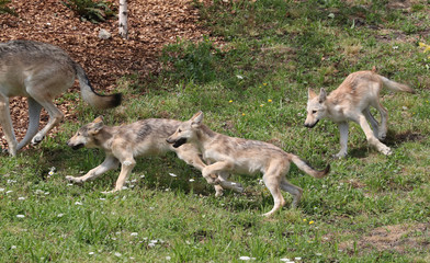 Wolf pups that were just released to be visible for the visitors are pictured at the Pairi Daiza wildlife park in Brugelette