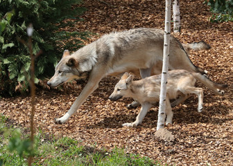 A wolf pup and a wolf that were just released to be visible for the visitors are pictured at the Pairi Daiza wildlife park in Brugelette