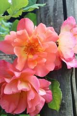 Rosen am Gartenzaun