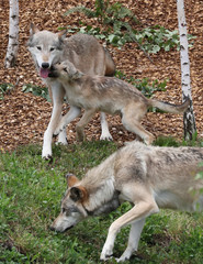 A wolf pup and two wolves that were just released to be visible for the visitors are pictured at the Pairi Daiza wildlife park in Brugelette