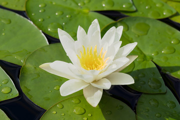 Foto op Canvas Waterlelies White water lily flower and green leaves in a pond after rain seen obliquely from above and placed in the middle of the frame