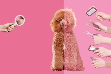 The process of  grooming of a poodle against pink background