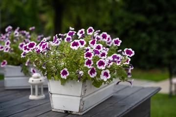 Fototapeta Pelargonie kwiatki w doniczkach obraz