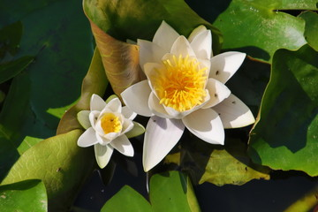 White water lily with green leaves in the ring Canal in NIeuwerkerk aan den IJssel during the summer