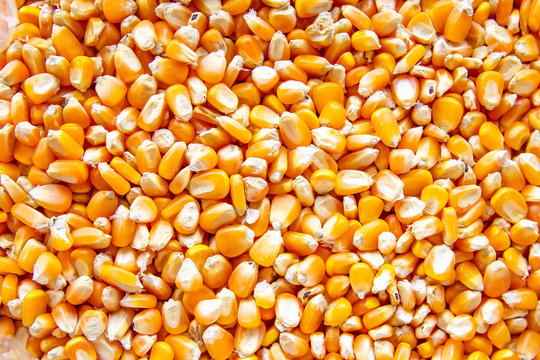 close up of corn seeds can be use as background