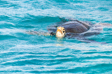 Saint Vincent and the Grenadines, green turtle, Tobago Cays