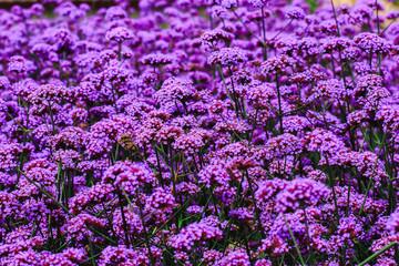 Verbena is blooming and beautiful in the rainy season.