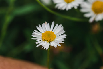 Daisy is blooming and beautiful in nature. Is a macro photography
