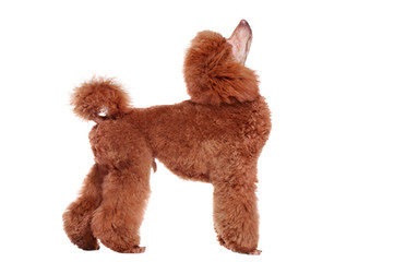 Side view full length portrait of a poodle looking up