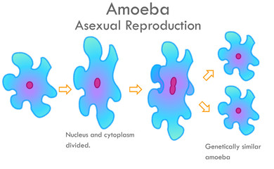 Amoeba division stages. Stages of mitosis division with arrows. Asexual reproduction. Nucleus and cytoplasm divided. Genetically similar, sister amoeba. Biological drawing. Transparent vector.