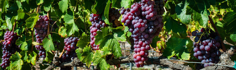 Grape Clusters Groups banner