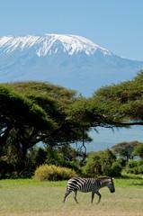 Kenya, Amboseli, Kilimanjaro, zebra