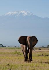 Kenya, Amboseli, elephant solitary bull with Kilimanjaro