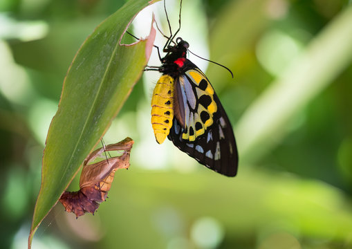 Cairns Birdwing butterfly emerges from chrysalis