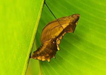 Cairns Birdwing Butterfly chrysalis