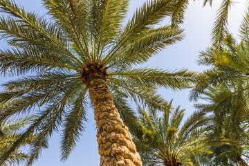 tall palm trees  in Jordan