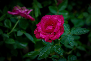 Natural rose flower garden photos We have about photos in HD high resolution images format