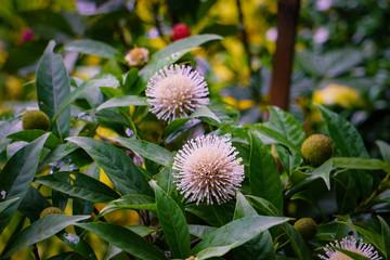 Neolamarckia cadamba - Kadam or Kadambo flowers is a rainy season flower in Bangladesh