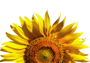 Close-up of Beautiful half sunflowers on white background. Fototapete