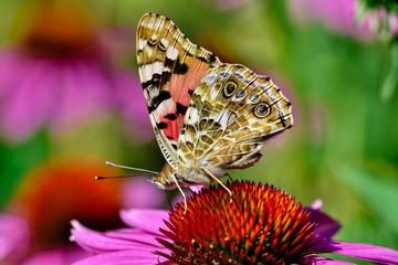 Schmetterlin auf einer Blume