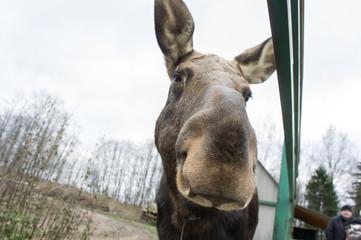 Elk on the moose farm Sumarokovo, Kostroma region.