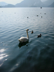 A swan follows ducks across the gleaming sunlit waters of Lake Bled, Slovenia.