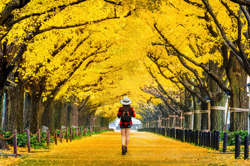 Wall Mural - Woman traveler with backpack walking in Row of yellow ginkgo tree in autumn. Autumn park in Tokyo, Japan.