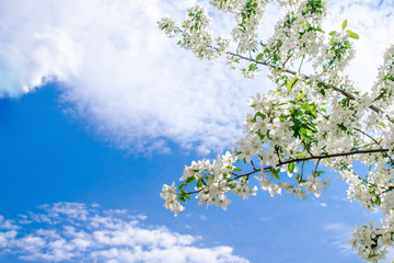 out of the Apple tree branch strewn with many flowers against the blue cloudy sky