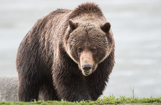 Grizzly bear in the spring