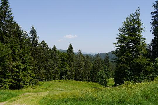 Fichtenwald und Bergwiese