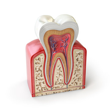 Dental tooth anatomy. Cross section of human tooth isolated on white.