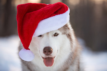 Cute, funny and happy Siberian Husky dog with closed eyes in red christmas santa claus hat at golden sunset