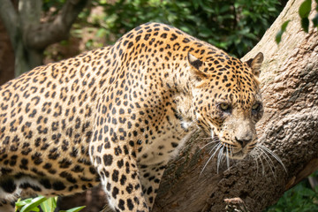 African Leopard (Panthera pardus pardus) native to wide ranges in sub-Saharan Africa