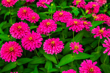 Spoed Foto op Canvas Roze Beautiful abstract texture color red purple and pink flowers trees plants and forest landscape in the public nature green city parks and gardens