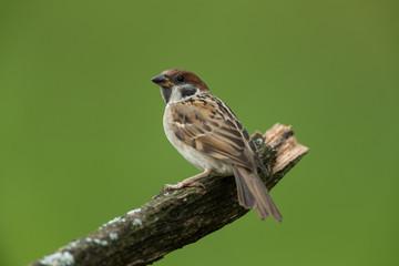 Eurasian tree sparrow sitting on a branch Fotoväggar